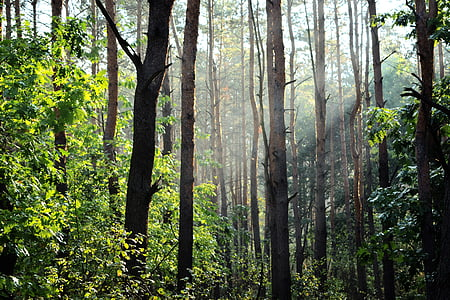 aforestation, bosc, llum, boira, natura, raig de sol, llum solar
