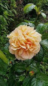 kollane roos, taim, lill, Roosi kroonleht, rosenknopse, Aed, loodus