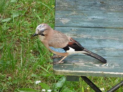 jay, bird, table, garden, yard, nature, wildlife