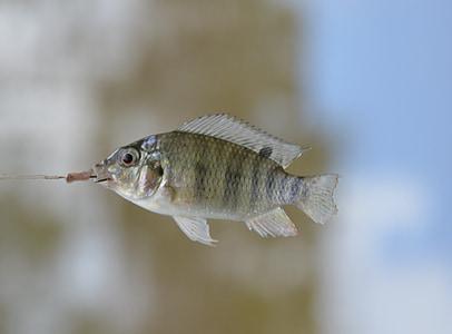 fish, swim, small
