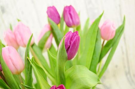 tulipes, porpra, flors, primavera, flors de primavera, Rosa, flor