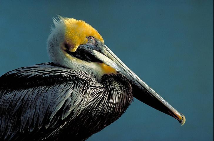 птица, кафяв, страна, Пеликан, птици, животни, фауна