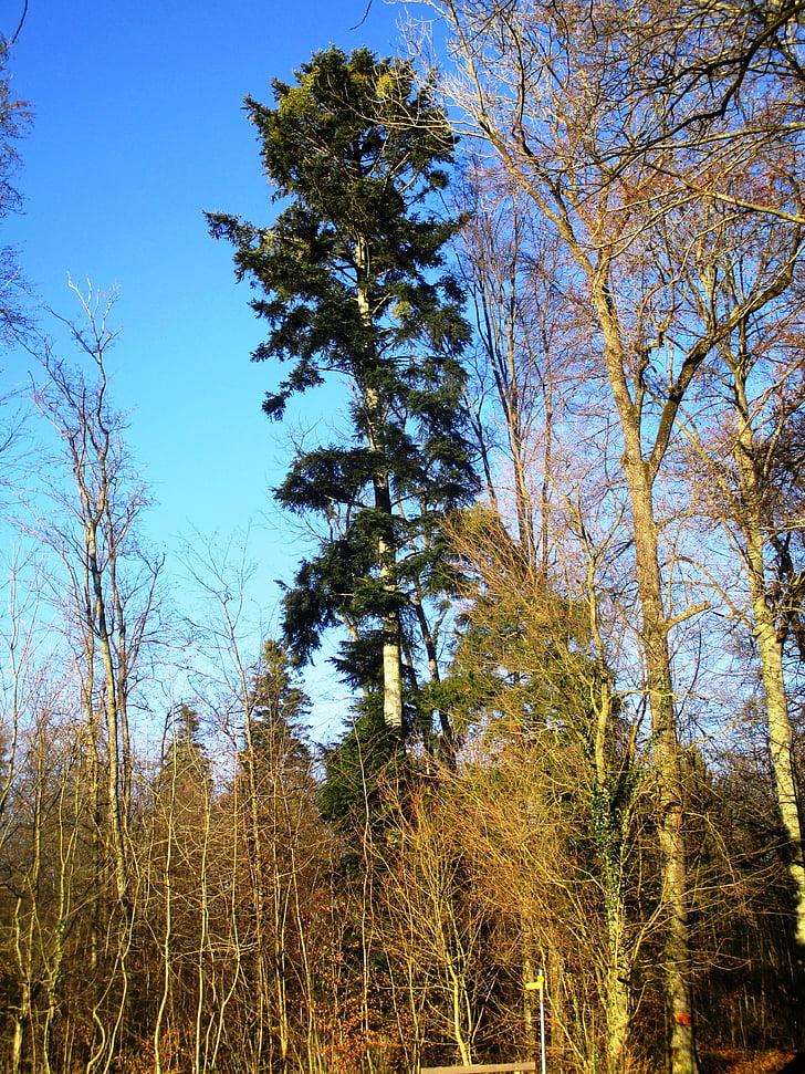 žalia, miško, dangaus mėlynumo, medis, atmosfera, medienos, nuotaika