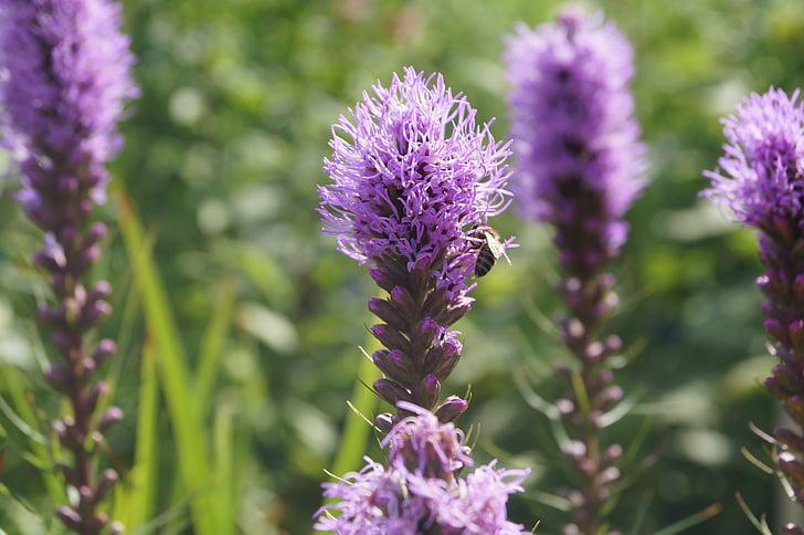 Veronica, cvet, nagrada, vijolična, veliko jetičnik, Veronica rastline, naturopathy