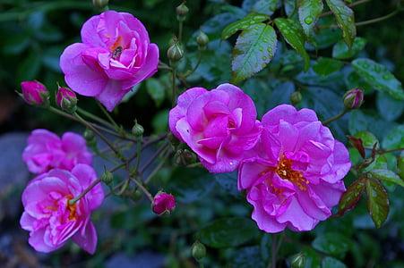 Rosa, rosa Rosa, Rosa perfumada, roserar, flor, flor, flors roses