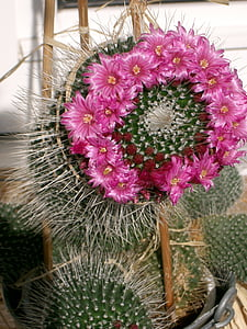 cactus, flowers, beautiful, cactus blossom
