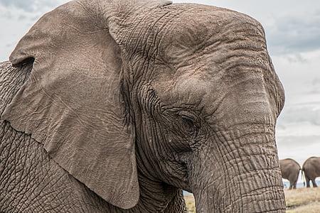éléphant, tronc, soins de la peau, gros, africain, en voie de disparition, énorme