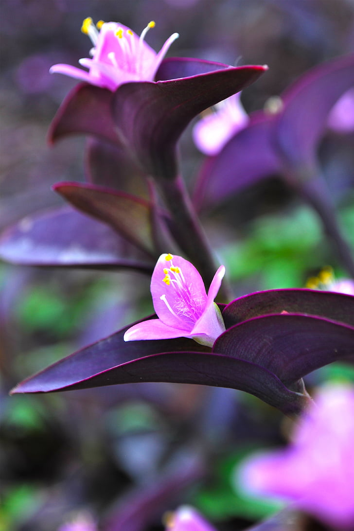 flowers purple heart, flowers, purple flowers