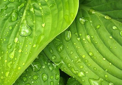 πράσινο, Hosta, φύλλα, βροχή, σταγόνες νερού, φύση, φύλλο
