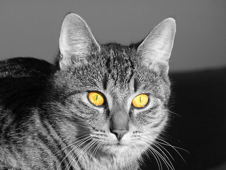 katė, akis, šviesos, Adidas, geltonos akys, katės akys