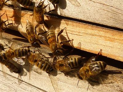 abelles, abelles de mel, Apis mellifera, rusc, rusc, insecte, abella