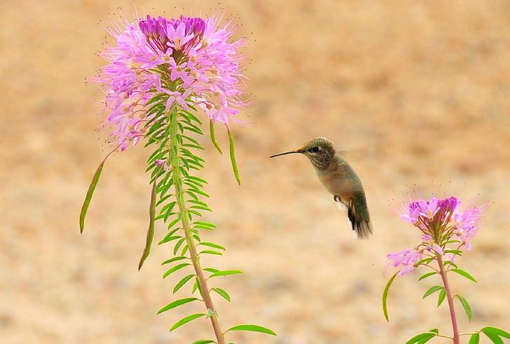 rufous hummingbird, wildlife, hovering, feeding, nectar, flower, small