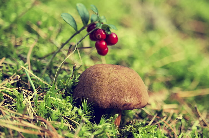 forest, chestnut boletus, mushroom, autumn, brown chestnut boletus, edible, the collection of