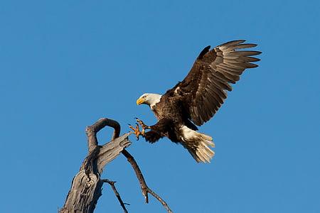 slijetanje, ogromna, ptica, Raptor, let, leti, divlje