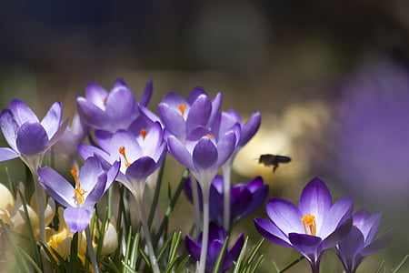 crocus, schwertliliengewaechs, spring crocus, flowers, blossom, bloom, flower