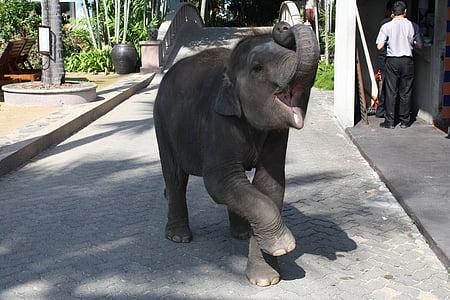 elefant, elefant, tren, animal salvatge, Àsia, natura, Turisme