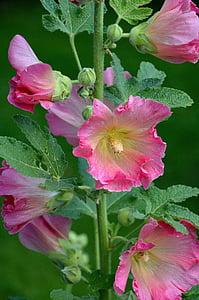 Stock rose, mályva, virágok, virág, kert, rózsaszín, makró