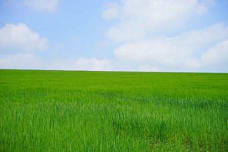 campo de trigo, campo de milho, trigo, espiga de trigo, pico, cereais, Verão