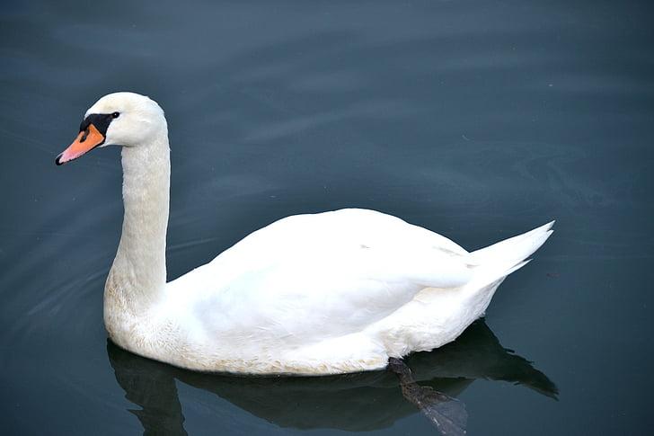 лебед, лебед във водата, вода, птица, лебеди, вода птица, животните