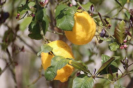 citron, arbre, nature, fruits, jaune, citrons, agrumes