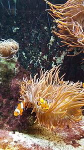 Peix pallasso, Nemo, peix, sota l'aigua, Aquari, criatura, meeresbewohner