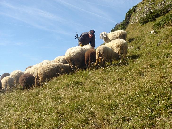 ramat d'ovelles, ovelles de muntanya, pasturatge d'ovelles