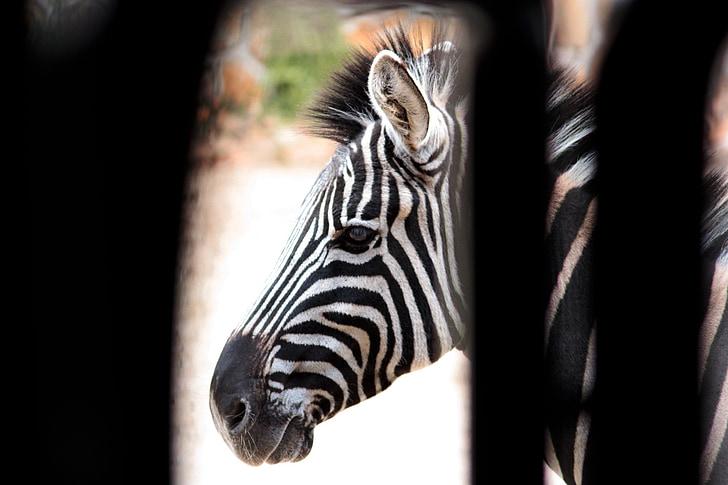 Zebra, prúžky, biela, Nero, čierna a biela, zviera, zvieratá