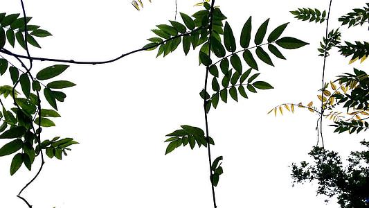Príroda, vinič, kmeňových, rastliny, Leaf, jar, obrúsky
