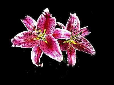 tiger lily, flower, spring, flowers, lilies, lily