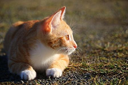 cat, kitten, red mackerel tabby, red cat, young cat, cat baby, mackerel