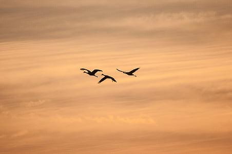 силует, Крейн, плаващи птици, облаците, небе, залез, високо