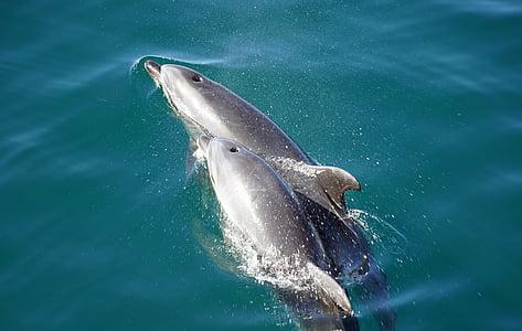 dupini, zubar, morski sisavci, Sisavci, majka i dijete, uvale otoka, Novi Zeland