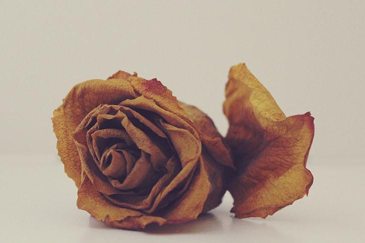 Rosa, marceix, sec, es va esvair, transitori, flor, tancar