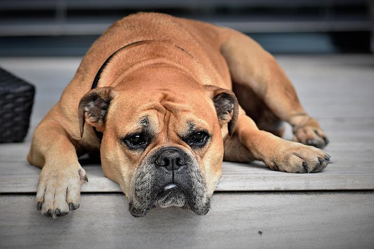 dog, animal, continental bulldog, pet, animal portrait, sleep, wildlife photography