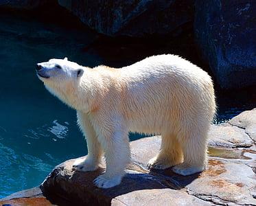 bear, polar, nature, wildlife, arctic, animal, snow