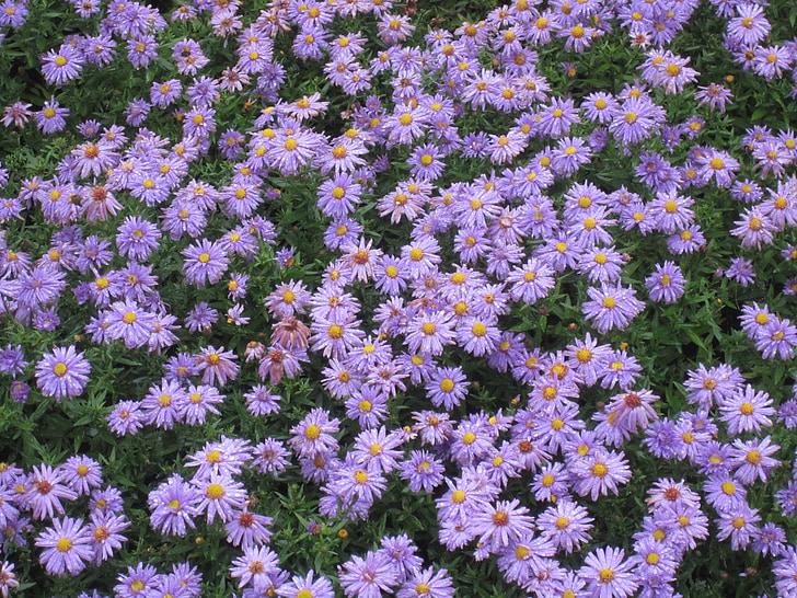 gėlės, violetinė, violetinė gėlė, Gamta, žiedų, žydėti, augalų