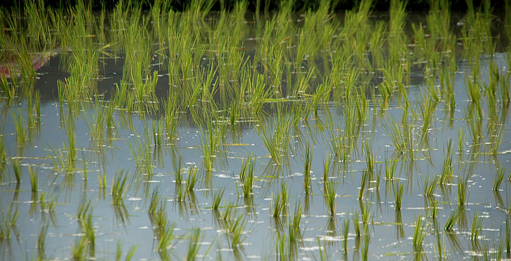 rice shoots, rice, rice field, thailand, asia