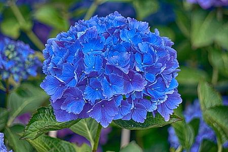 Hortènsia, flor, flora, blau, natura, l'estiu, jardí