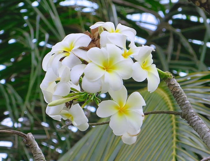 Камбоджа, Анкор, frangipani, бяло, жълто, цвете, Plumeria
