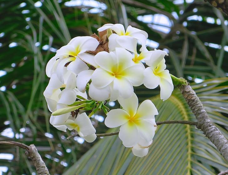 Cambodja, Angkor, Frangipani, hvid, gul, blomst, Plumeria