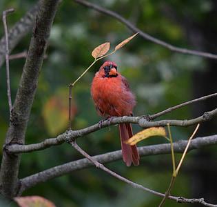 red bird, bird, cardinal, wildlife, zoo, wild