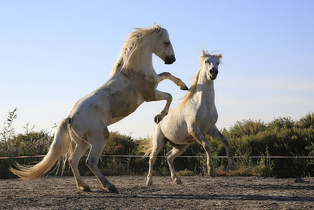 tiêu chuẩn, con ngựa, chiến đấu, Mane, con ngựa, Cưỡi ngựa, Mare