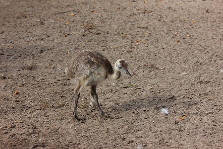 rhea bird, flightless bird, zoo, bird, flightless, small, young animal
