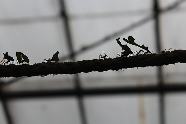 ants, rope, insect, strength, team, cooperation, nature