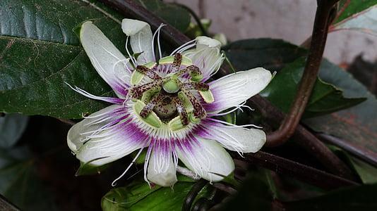 fruita de la passió, flor, flor de la passió, fruita