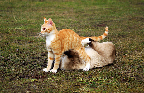 cat, siamese cat, play, red cat, kitten, red mackerel tabby, fight