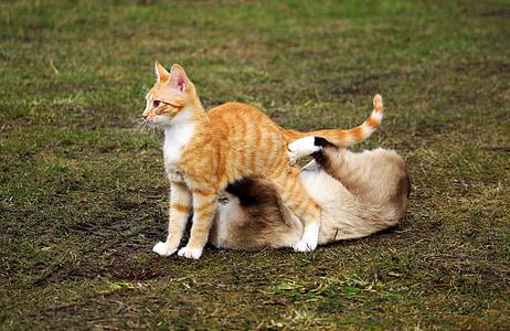 猫, シャム猫, 再生, 赤猫, 子猫, 赤・ マッカレルタビー, 戦い