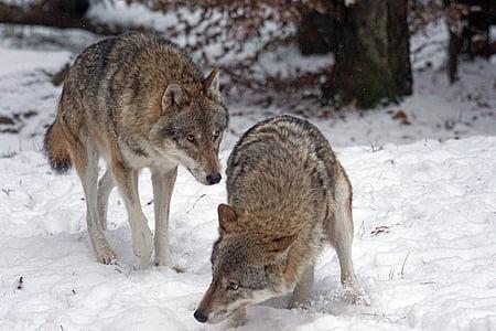 Wolf, Predator, kiskjaliste, Canis lupus, Pack looma, hirm, talvel