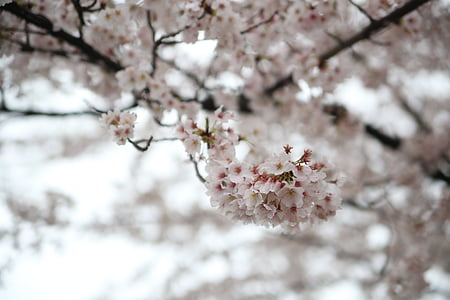primavera, flor del cirerer, Sakura