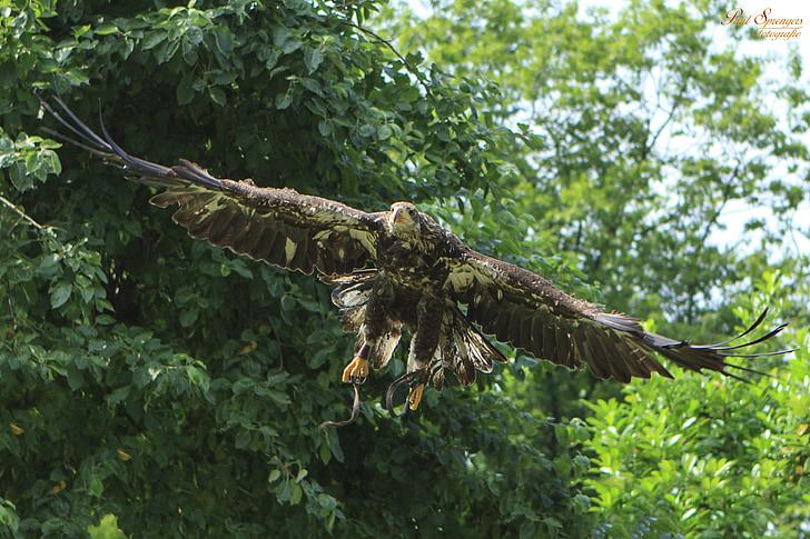 граблива птица, птици, природата, орел, бяла опашка орел, плешив орел, Националната птица